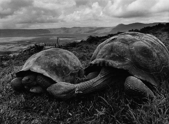 08abr2013---nas-ilhas-galapagos-fotografo-sebastiao-salgado-registra-duas-tartarugas-gigantes-para-o-livro-genesis-1365421048715_545x399